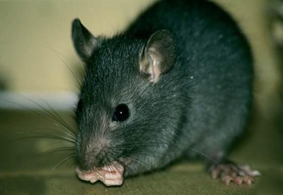 ratas negra