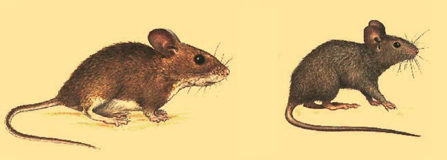 rata de campo
