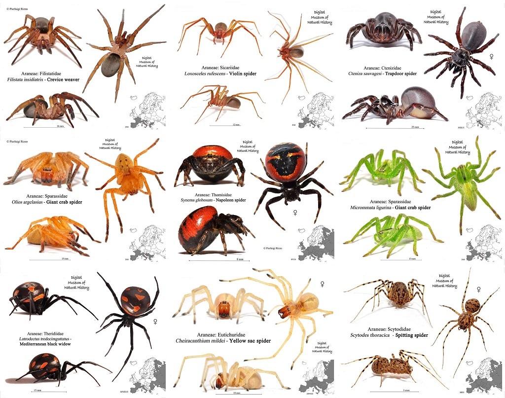 tipos de arañas